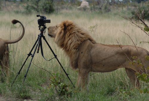 AHBS Lion with camera